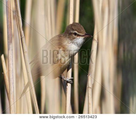 Great warbler