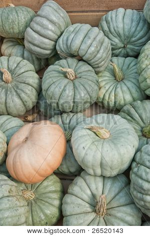 Queensland Blue Pumpkin Gourds