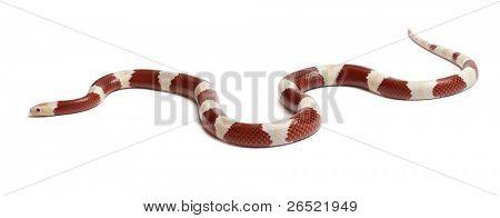 Albinos milk snake or milksnake, Lampropeltis triangulum nelsoni, in front of white background