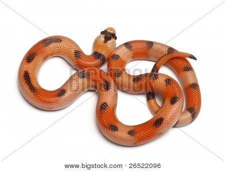 Tricolor Honduran milk snake, Lampropeltis triangulum hondurensis, in front of white background