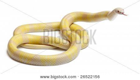 Snow yellow contrast Honduran milk snake, Lampropeltis triangulum hondurensis, in front of white background