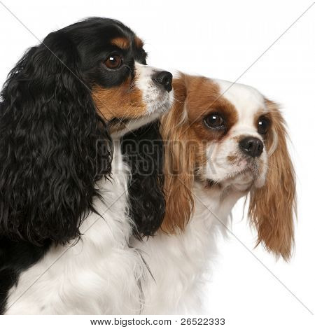 Close-up of Cavalier King Charles Spaniels, 2 and 3 years old, in front of white background