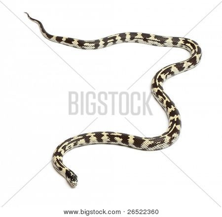 Eastern kingsnake or common kingsnake, Lampropeltis getula californiae, in front of white background