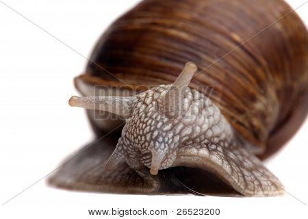 Snail Portrait Closeup