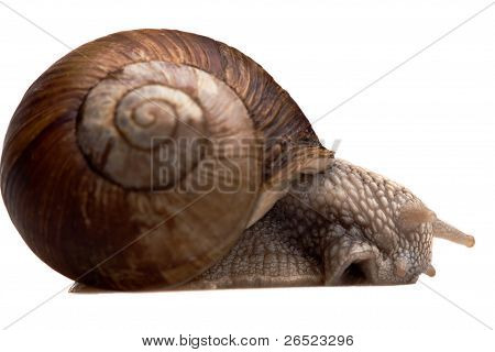 Big Snail In Profile