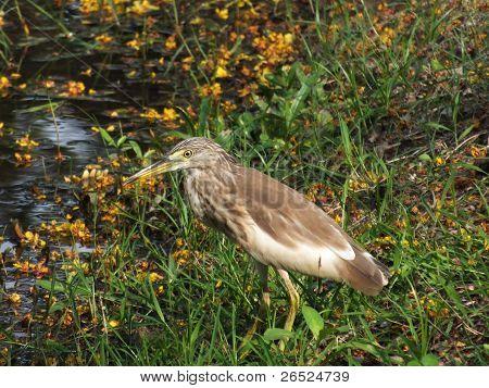 A heron walking