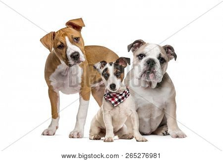 American Staffordshire Terrier puppy English