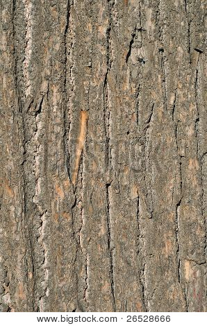 Old Oak Bark
