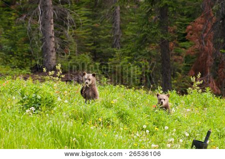 Baby Grizzly Bears
