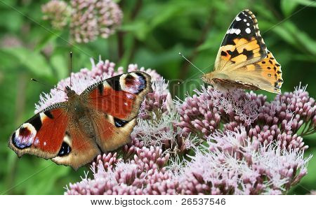 Two Butterflies On Flower