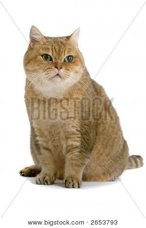 One Brown Cat With Green Eyes Sitting Down