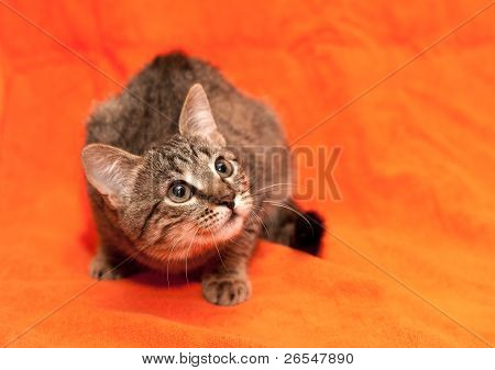 Tabby Cat On Orange Background