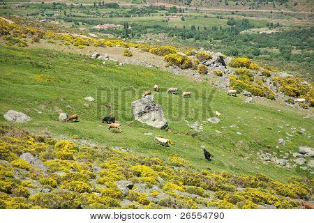 Livestock At Gredos Mountains