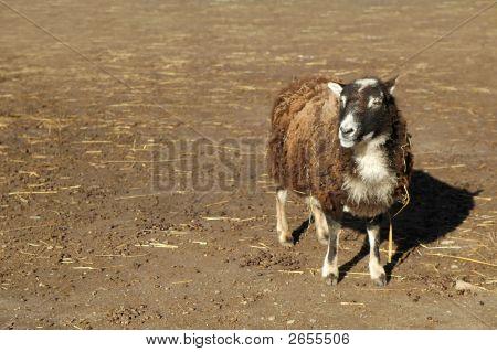 Schaf - Singular