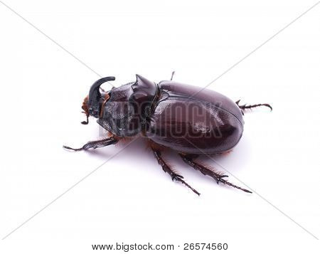 Rhinoceros beetle isolated on a white background
