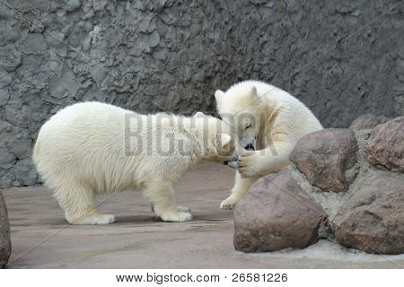 Two little white polar bears play