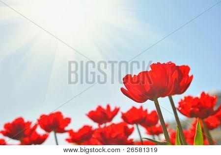 Tulipanes rojos bajo sol