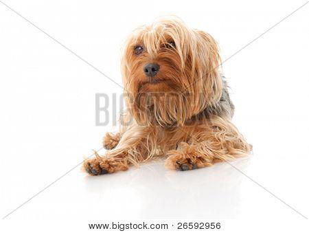 Dog. Isolated over white.
