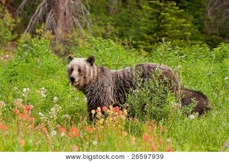 Grizzly Bear Feeding