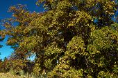 Oak Trees Changing Colors During Autumn Taken On A Grassy Plain And Oak Woodland In The Rural San Be poster