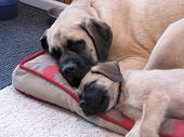 stock photo of english-mastiff  - English Mastiff mother and son sleeping on pillow
