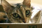 Cat Hiding In Paper Box, Curious Kitten In The Box. A Cat Plays Hide And Seek In A Cardboard Box. A  poster