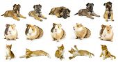 stock photo of hirsutes  - collection animals  the white backgrounds - JPG