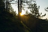 Morning In Pine Forest. First Sunlight In Pine Forest. Early Morning Sunrise In Nature. Sun Rays Thr poster