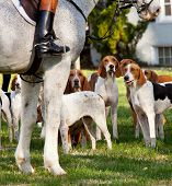 pic of foxhound  - Dogs of the Middleburg Hunt after traditional December parade down main street of Middleburg Virginia snapping at the legs of a horse - JPG