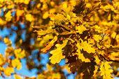 Autumn Landscape. Autumn Oak Leafes, Blurred Background. Ecological Background - Oak Leaves And Brig poster
