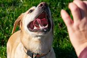 Sunstroke, Health Of Pets In The Summer. Labrador. Dogs Play With His Owner, Dogs Play With Ball And poster