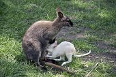 The Red Necked Wallaby Is Nursing Her Baby Joey poster
