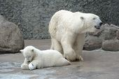 White polar bears family feed