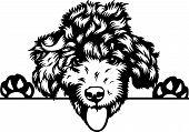 Animal Dog Poodle Peeking 2.eps poster