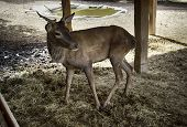 Wild Deer In A Farm poster