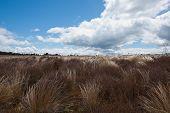 foto of windswept  - Windswept tussock plains of New Zealand - JPG