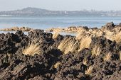 image of scoria  - Tussock grass breaks through hardened lava rock on Rangitoto Island Hauraki Gulf New Zealand - JPG