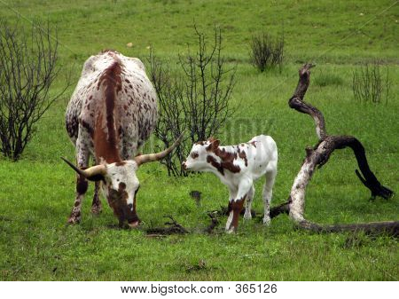 Longhorns In Spring