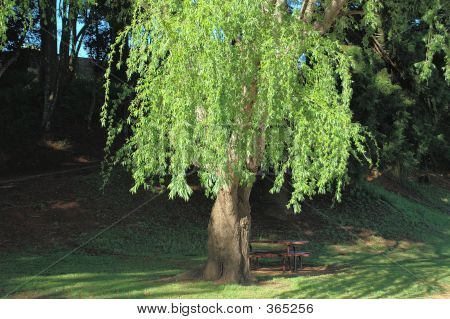 Willow Tree In The Park
