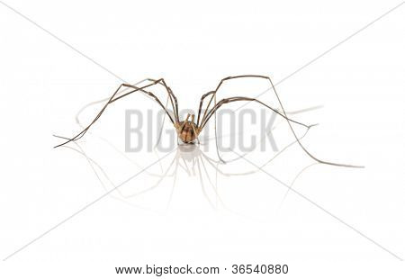 A Opiliones spider, aka Daddy Longlegs or Harvestman on white background with reflection.