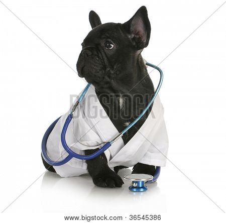 veterinary care - french bulldog dressed up like a vet on white background - 8 weeks old