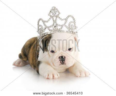 puppy princess - english bulldog puppy wearing tiara - 6 weeks old