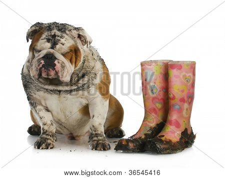 bad dog - muddy english bulldog sitting beside dirty boots on white background