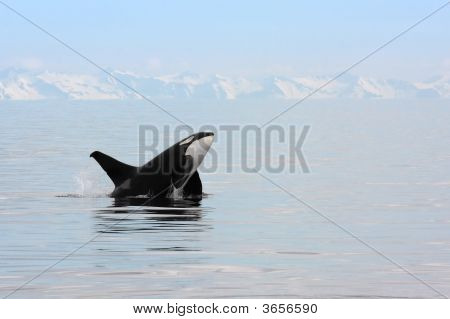 Killer Whale Breaching