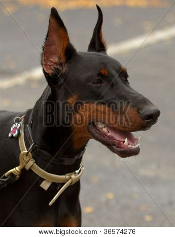 Doberman On Leash With License Tag