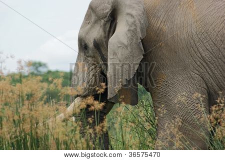 Elephant Detail In Uganda