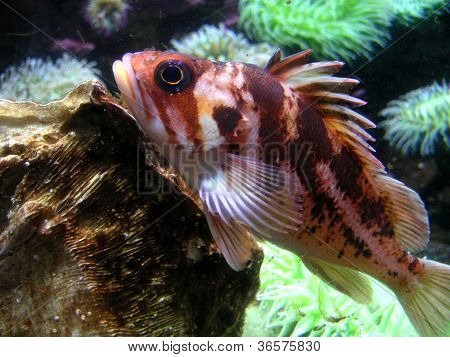 Red Grouper Fish, Oregon