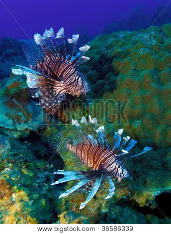Lionfish (pterois) Near Coral, Cayo Largo, Cuba
