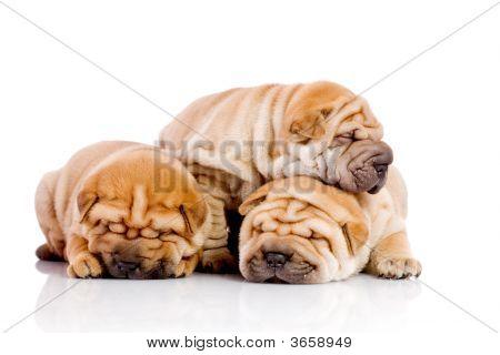 drei Shar pei Baby Hunden