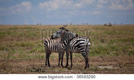 Resting Zebras